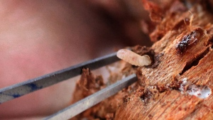 Mountain pine beetle larvae are shown in Twisp, Wash., Oct. 14, 2011. (The Seattle Times, Steve Ringman)