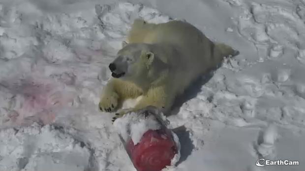 Cochrane Polar Bear Habitat Shows Off Polar Bear