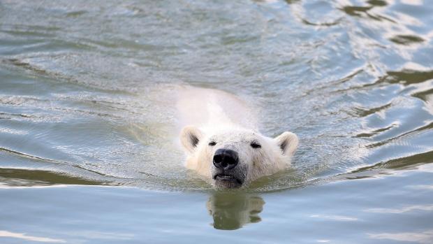 Melting sea ice forces polar bears to swim farther: study