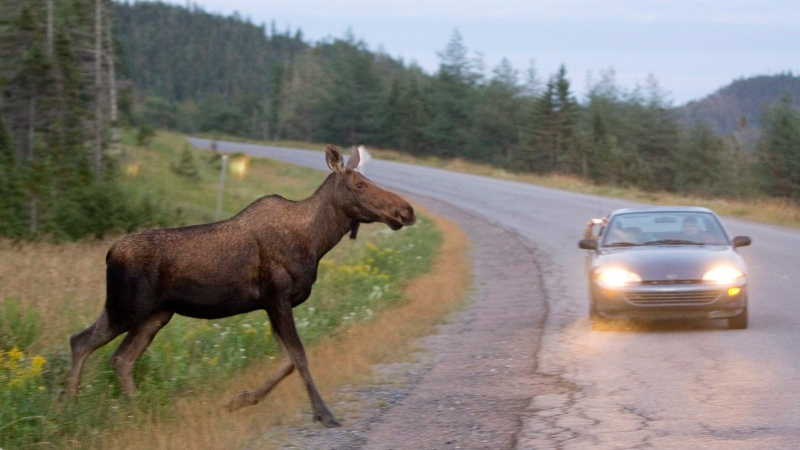 A moose runs in front of a car in Gros Morne National Park in Newfoundland on Tuesday, August 14, 2007. (Jonathan Hayward/The Canadian Press)