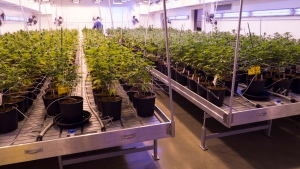 Tilray, one of Canada's largest medical marijuana producers, has opened the doors of its 65,000-square-foot, $30-million Nanaimo facility to give a glimpse of its  production process. (Scott Cunningham/CTV News)