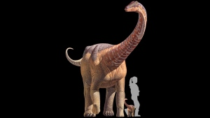 This artist rendering shows a titanosaur, a silhouette representing the size of a hatchling titanosaur, relationship to a human at birth, tiny titanosaur babies weigh about as much as average human babies, 6 to 8 pounds. But in just a few weeks, they're shedding the tiny descriptor and are at least the size of golden retrievers. (Science/K. Curry Rogers, M. Whitney, M. D'Emic, and B. Bagley via AP)