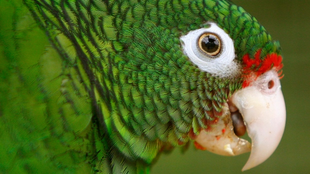 In this June 23, 2011, file photo, a Puerto Rico parrot is pictured inside a fly cage at El Yunque National Forest protected habitat in Luquillo, Puerto Rico. (AP Photo/Ricardo Arduengo, File)