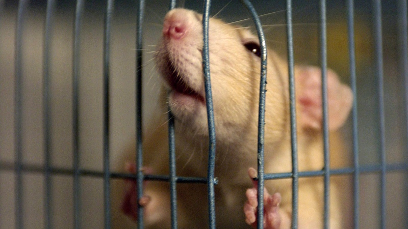 A rat in a cage is shown Thursday, Nov. 4, 2004, in Elyria, Ohio. (THE CANADIAN PRESS / AP/ The Plain Dealer, Scott Shaw)