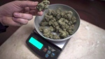 Marijuana is weighed at a medical marijuana dispensary, in Vancouver, Wednesday, Feb. 5, 2015. (Jonathan Hayward / The Canadian Press)