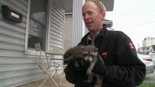 Wildlife specialist Marc Chubb with baby raccoons.