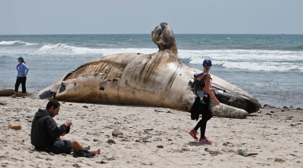 A woman carrying an infant on her back looks at a massive carcass of a whale at a popular California surfing spot Tuesday, April 26, 2016, in San Clemente, Calif. Authorities are trying to decide what to do with the massive, rotting carcass. (AP Photo/Lenny Ignelzi)
