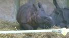 CTV Toronto: Help name Toronto Zoo's baby rhino
