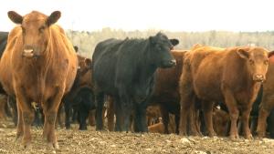 Beef backlash: Earls restaurant chain drops Albert