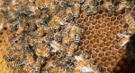 Bees are seen on a frame from a hive in Karen Hickey's backyard Wednesday, April 20, 2016 in Montreal. (Paul Chiasson / The Canadian Press)