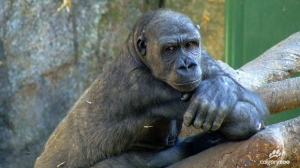 Zuri, a 19-year-old western lowland gorilla, remains in critical condition after undergoing emergency surgery (photo: Calgary Zoo)
