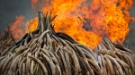 An ivory statue, right, lies on top of pyres of ivory as they are set on fire in Nairobi National Park, Kenya Saturday, April 30, 2016. Kenya's president Saturday set fire to 105 tons of elephant ivory and more than 1 ton of rhino horn, believed to be the largest stockpile ever destroyed, in a dramatic statement against the trade in ivory and products from endangered species. (Ben Curtis / AP)