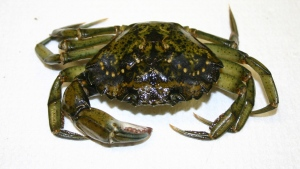 The European green crab, an invasive species that could threaten shellfish stocks on the Atlantic coast is seen in this photo. (CP PHOTO/ho-Fisheries and Oceans Canada-Sean Macneill)