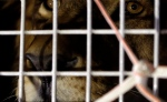 A former circus lion peers from inside a cage during their arrival at OR Tambo International airport in Johannesburg, South Africa, Saturday, April 30, 2016. (AP / Themba Hadebe)