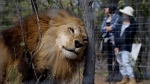 A former circus lion scratches its head against a tree inside an enclosure at Emoya Big Cat Sanctuary in Vaalwater, northern, South Africa, Sunday, May 1, 2016. (AP Photo / Themba Hadebe)