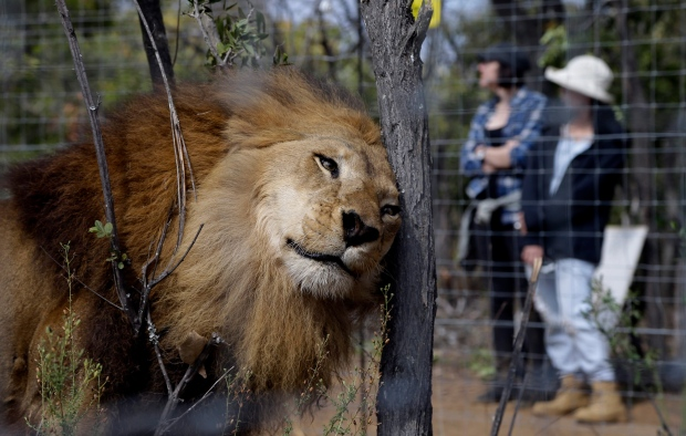 A former circus lion scratches its head against a tree inside an enclosure at Emoya Big Cat Sanctuary in Vaalwater, northern, South Africa, Sunday, May 1, 2016. (AP Photo/Themba Hadebe)