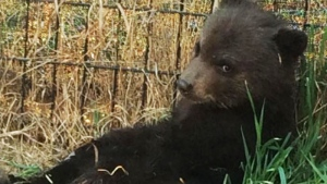 A bear cub is shown in a photo posted to Facebook by Tiana Jackson.