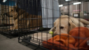 Dogs lay in cages at the SPCA rescue centre in the Bold Center in Lac la Biche, Alberta, on May 10, 2016. (THE CANADIAN PRESS / Jonathan Hayward)