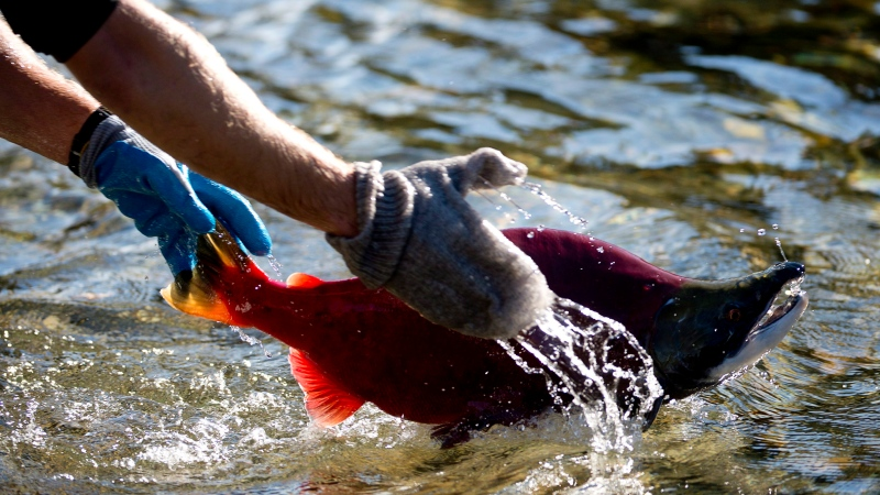 A worker throws a sockeye salmon back into the river after counting it as the salmon make their way up the Adams River in Roderick Haig-Brown Provincial Park near Chase, B.C. Tuesday, Oct. 14, 2014. (THE CANADIAN PRESS / Jonathan Hayward)