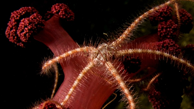 Scientists use brittle star to map ocean diversity