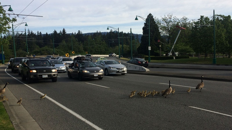 Vancouver S Busiest Commuter Route Shut Down By Geese