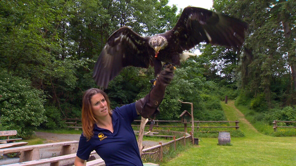 'Hercules,' a four-year-old bald eagle involved in a promotional contest for Phillips Brewery, trains with Pacific Northwest Raptors' operating manager Robyn Radcliffe. May 16, 2016. (CTV Vancouver Island)