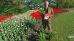 Canada AM: Canadian Tulip Festival in Ottawa