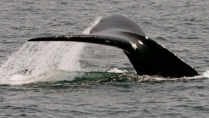 In this April 10, 2008 file photo, a North Atlantic right whale dives in Cape Cod Bay near Provincetown, Mass. (THE CANADIAN PRESS / AP / Stephan Savoia)