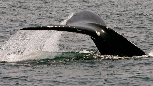 Record Number Of North Atlantic Right Whales Spotted Off Cape Cod