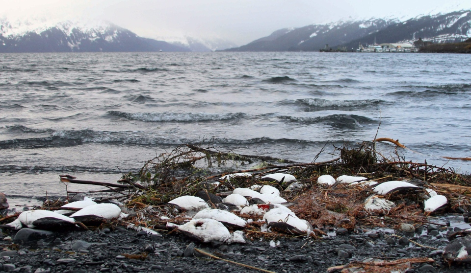 In this Thursday, Jan. 7, 2016 file photo, dead common murres lie washed up on a rocky beach in Whittier, Alaska. (AP / Mark Thiessen)