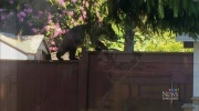 CTV Vancouver: Black bear climbs backyard fence
