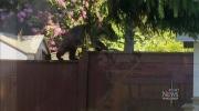 CTV Vancouver: Black bear climbs backyard fence
