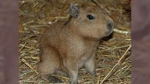 A capybara is shown in this image provided by Toronto police.