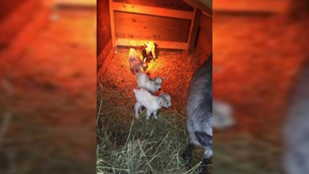 Four goats born as quadruplets are shown with their mother at a farm in Alberta.