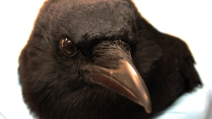 A crow is studied at the University of Washington's medical center in Seattle, on Dec. 16, 2015. (AP Photo/Manuel Valdes)