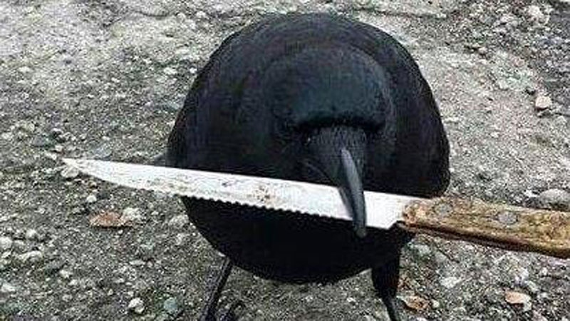 Canuck the Crow gained notoriety after he was photographed stealing a knife from a crime scene in East Vancouver. (Facebook)