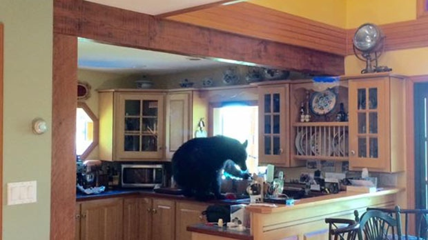 Bear Y Big Mess B C Woman Finds Bruin In Her Kitchen