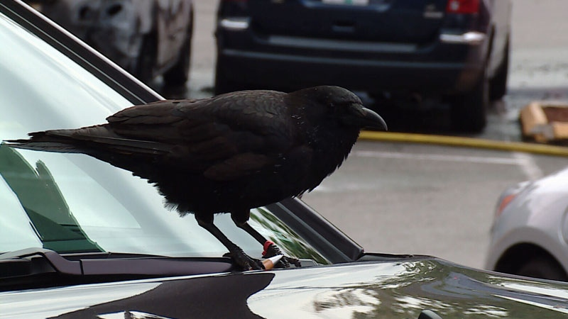 Crow steals knife from crime scene