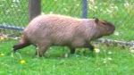Two Toronto capybaras still on the lam after zoo