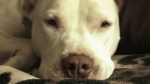 Tera Joseph's pet pit bull Lucy is seen in an undated handout photo. (THE CANADIAN PRESS/HO)