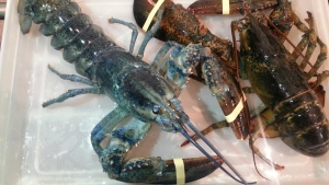 A blue lobster shipped to a Toronto seafood shop last week will be given a new home at the Ripley's Aquarium of Canada. (Photo: Russell Regimbal)