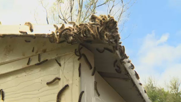 Caterpillars are covering Manitoba backyards and trees, but University of Manitoba entomologist Rob Currie said the worst of the forest tent caterpillar infestation could be yet to come.