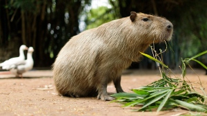 In this file photo, a capybara eats a plant at the zoo in Asuncion, Paraguay, Friday Feb. 18, 2011. (THE CANADIAN PRESS / AP / Jorge Saenz)