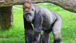 In this file photo, Kakinga, a silverback gorilla, is shown in a Calgary Zoo handout photo. (THE CANADIAN PRESS / HO-Calgary Zoo)