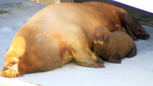 Quebec walrus pups drawing international attention from scientists