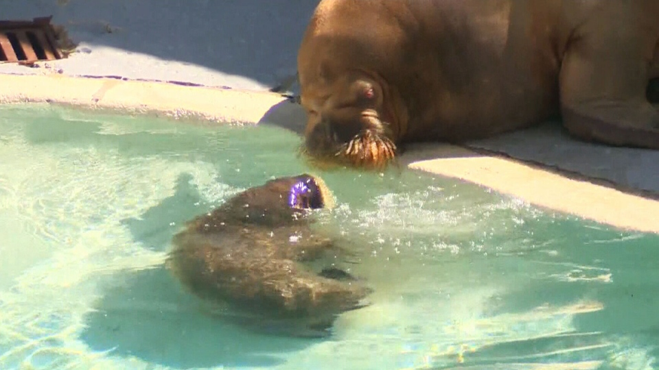 The baby walruses were born earlier this month to mothers Arnaliaq and Samka.