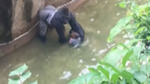 A gorilla has been shot dead at the Cincinnati Zoo after dragging a toddler who fell into the animal's enclosure. (WLWT)