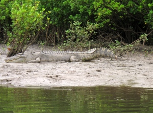 In this June 29, 2015 photo, a crocodile rests on the shore along the Daintree River in Daintree, Australia. (AP Photo/Wilson Ring)