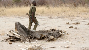 A game ranger walks by a rotting elephant carcass, in Hwange National Park, Zimbabwe on Sept. 29, 2013. Zimbabwean officials say poachers killed five elephants by poisoning them with cyanide. (AP Photo)