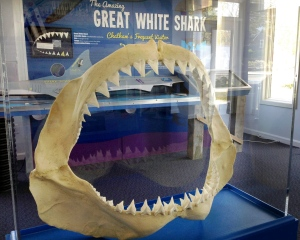 In this Wednesday, May 25, 2016 photo, a replica of a great white shark's jaws and teeth are displayed at the Atlantic White Shark Conservancy's Chatham Shark Center in Chatham, Mass. (AP Photo/Philip Marcelo)